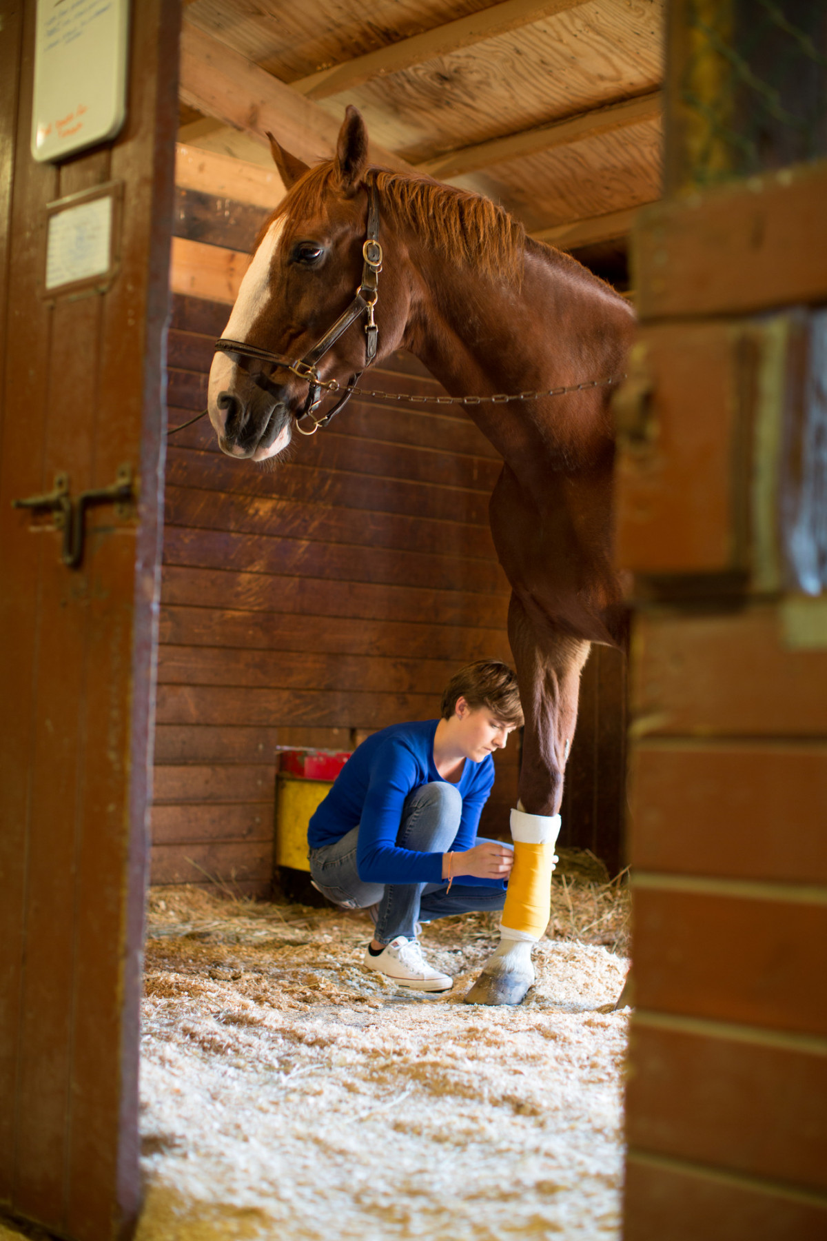 Student wrapping horse's leg in barn